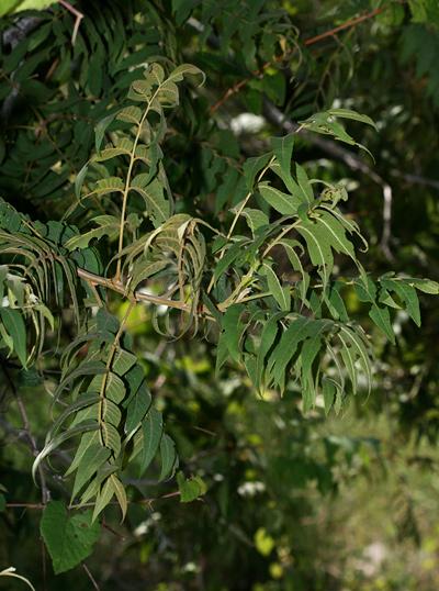 Juglans major - Arizona Walnut, Arizona Black Walnut, New Mexico Walnut (leaves)