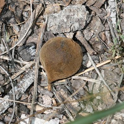 Juglans major - Arizona Walnut, Arizona Black Walnut, New Mexico Walnut (fruit)