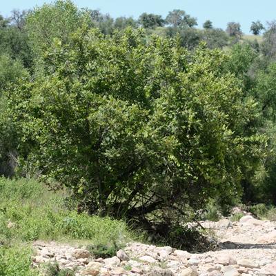 Juglans major - Arizona Walnut, Arizona Black Walnut, New Mexico Walnut (young tree)