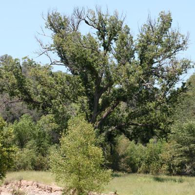 Juglans major - Arizona Walnut, Arizona Black Walnut, New Mexico Walnut (mature tree)