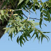 Inconspicuous Flowers - Juglans major – Arizona Walnut