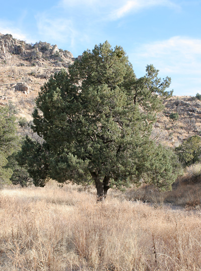 Juniperus deppeana - Alligator Juniper