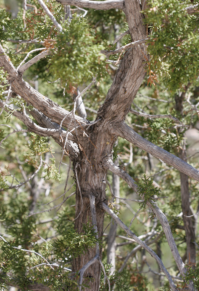 Juniperus monosperma - Oneseed Juniper, One-seed Juniper (bark)