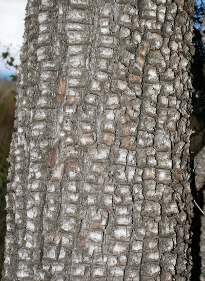Juniperus deppeana - Alligator Juniper (bark)