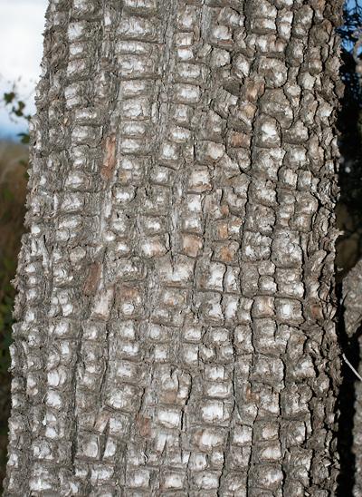 Juniperus deppeana - Alligator Juniper (bark)