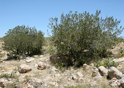 Juniperus monosperma - Oneseed Juniper, One-seed Juniper