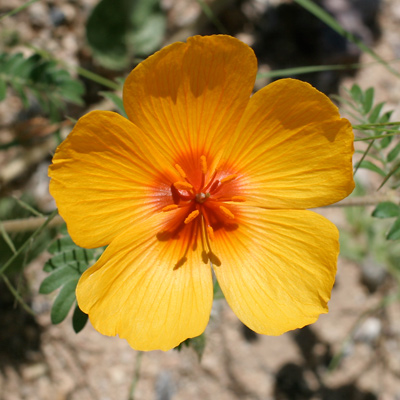 Kallstroemia grandiflora - Arizona Poppy, Arizona Caltrop, Mexican Poppy (orange flower)