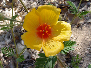 Kallstroemia grandiflora - Arizona Poppy, Arizona Caltrop, Mexican Poppy