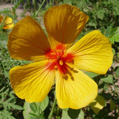 Kallstroemia grandiflora - Arizona Poppy, Arizona Caltrop, Mexican Poppy (yellow flower)