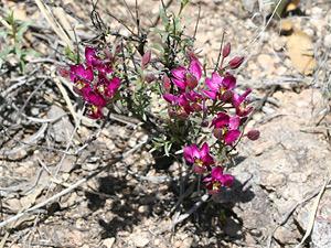 Krameria erecta - Littleleaf Ratany, Pima Ratany, Range Ratany