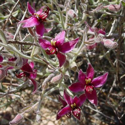 Krameria grayi - White Ratany (flowers)