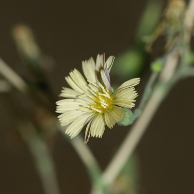 Lactuca serriola - Prickly Lettuce, China Lettuce, Wild Lettuce (flower)