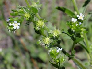 Lappula occidentalis - Flatspine Stickseed, White Stickseed, Western Sticktight