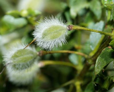 Larrea tridentata - Creosote Bush, Creosotebush (fruit)
