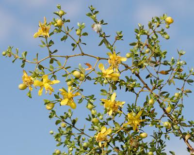 Larrea tridentata - Creosote Bush, Creosotebush