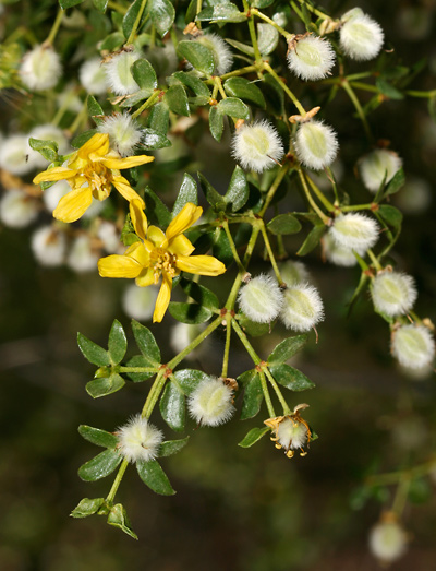Larrea tridentata - Creosote Bush, Creosotebush (flowers and fruit)