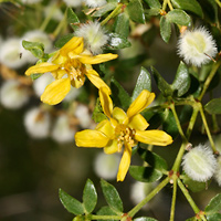 Common Wildflowers - Larrea tridentata – Creosote Bush