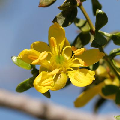 Larrea tridentata - Creosote Bush, Creosotebush (flower)