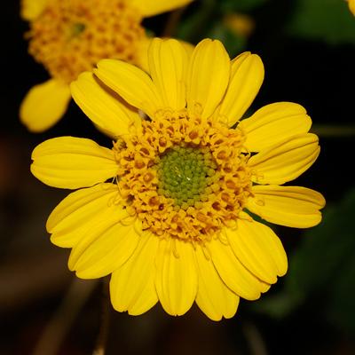 Lasianthaea podocephala - San Pedro Daisy (flower)