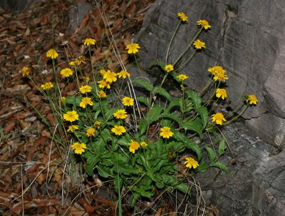 Lasianthaea podocephala - San Pedro Daisy