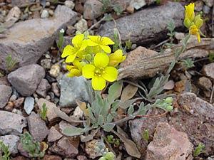 Lesquerella gordonii - Gordon's Bladderpod, Bladderpod Mustard