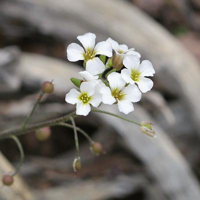 Lesquerella purpurea - Rose Bladderpod, Purple Bladderpod