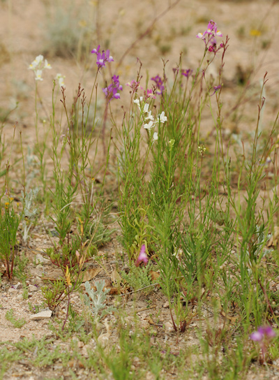 Linaria maroccana - Moroccan Toadflax, Baby Snapdragon, Annual Toadflax, Spurred Snapdragon