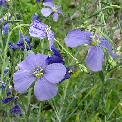 Linum lewisii - Lewis Flax, Prairie Flax, Western Blue Flax