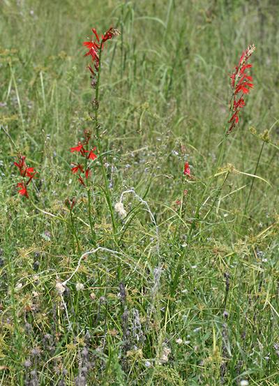 Lobelia cardinalis - Cardinalflower, Cardinal Flower, Scarlet Lobelia, Great Lobelia, Indian Tobacco