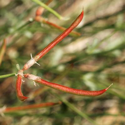 Lotus rigidus - Shrubby Deervetch, Wiry Lotus, Broom Bird's-foot Trefoil, Desert Rockpea (beans)