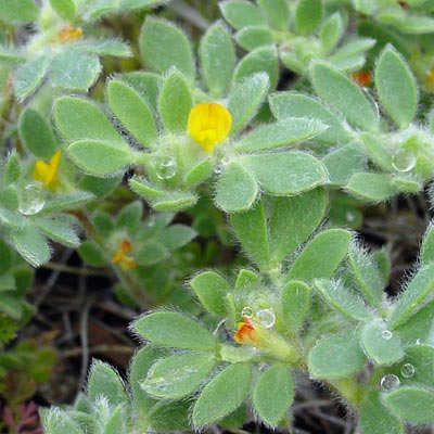 Lotus humistratus - Foothill Deervetch, Hairy Deer Vetch, Foothill Bird's-foot Trefoil
