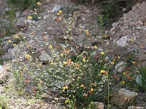 Lotus rigidus - Shrubby Deervetch, Wiry Lotus, Broom Bird's-foot Trefoil, Desert Rockpea