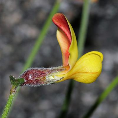 Lotus rigidus - Shrubby Deervetch, Wiry Lotus, Broom Bird's-foot Trefoil, Desert Rockpea (yellow flower)