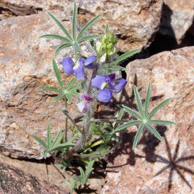 Lupinus sparsiflorus - Coulter's Lupine, Mojave Lupine