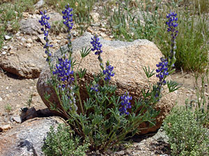 Lupinus sparsiflorus - Coulter's Lupine, Mojave Lupine