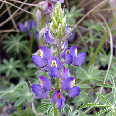 Lupinus sparsiflorus - Coulter's Lupine, Mojave Lupine (blue flowers)