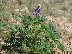 Lupinus succulentus - Hollowleaf Annual Lupine, Arroyo Lupine, Succulent Lupine