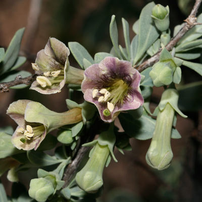 Lycium pallidum - Pale Desert-thorn, Pale Wolfberry, Pale Lycium, Rabbit Thorn (purple flower)