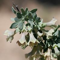 Brown and Drab Flowers - Lycium pallidum – Pale Desert-thorn