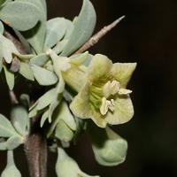 Green Flowers - Lycium pallidum – Pale Desert-thorn