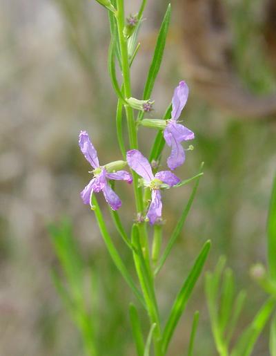 Lythrum Californicum California Loosestrife Purple