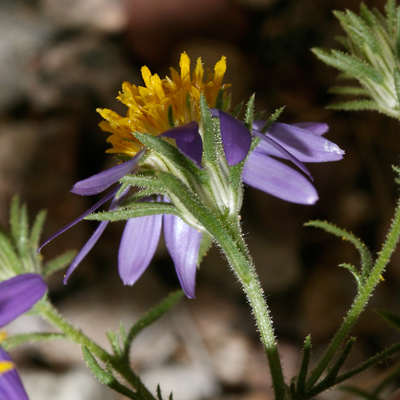 Machaeranthera tagetina - Mesa Tansyaster, Mesa Tansy-aster (flower)
