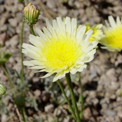 Malacothrix glabrata - Smooth Desertdandelion, Smooth Desert Dandelion, Desert Dandelion (flower)