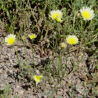 Malacothrix glabrata - Smooth Desertdandelion, Smooth Desert Dandelion, Desert Dandelion