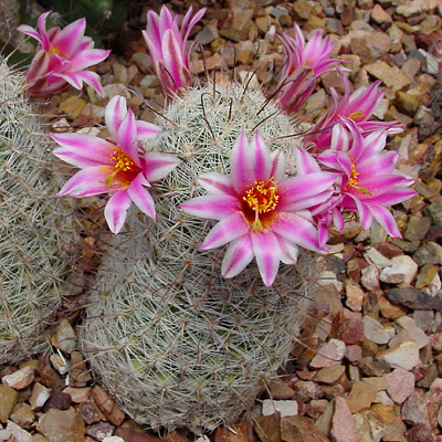 Mammillaria grahamii - Graham's Nipple Cactus, Pincushion Cactus, Arizona Fishhook (flowers)