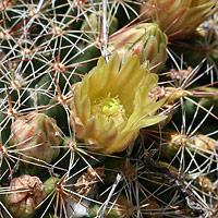 Brown and Drab Flowers - Mammillaria heyderi var. macdougalii – Macdougal's Nipple Cactus