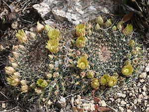 Mammillaria heyderi var. macdougalii - Macdougal's Nipple Cactus