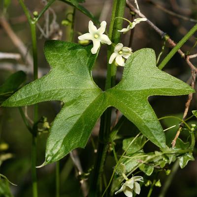 Marah gilensis - Gila Manroot, Wild Cucumber (flowers)