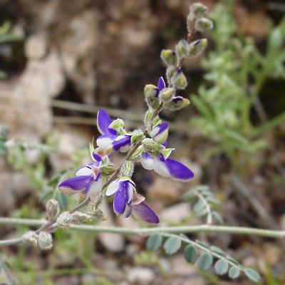 Marina parryi - Parry's False Prairie-clover, Parry Dalea