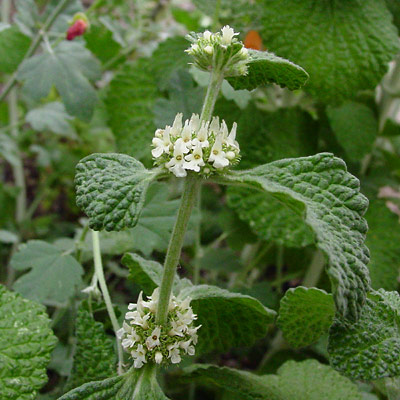 Marrubium vulgare - Horehound, White Horehound